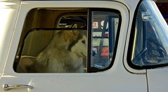 Driver Needed:  Waiting to Go (Ginger H Robinson) Tags: gasstation pickup truck husky northernbreed dog patient passenger seat montana fall autumn october