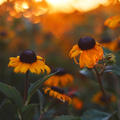 Evening Flowers (bnbalance) Tags: sunset light flowers orange nature bokeh