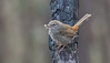 chestnut-rumped heathwren (Hylacola pyrrhopygia)-0665 (rawshorty) Tags: rawshorty birds canberra australia act bluettsblock