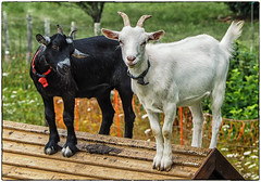 The kids on holiday - both were acting the goat at the time:) (Andy J Newman) Tags: olympus goat dordognefrance goats fun colorefex omd kids humor funny humour colour couxetbigaroque nouvelleaquitaine france fr