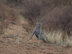 PA042367 Leopard (Joanna P Dale) Tags: kgalagaditransfrontierpark matamata olympus omdem1mkii panasonic100400 africanleopard leopard
