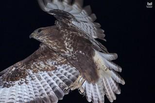Aguia de asa redonda, Eurasian Buzzard (Buteo buteo)
