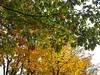 autumn colours (ruta / рута) Tags: autumn urbannature linden redoak