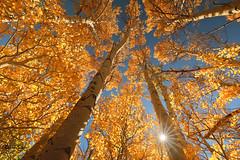The Rendezvous (Ramen Saha) Tags: autumnleaves autumn autumncolors sierra lundycanyon easternsierras ramensaha leaves sunburst sky aspen