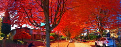 Series: Maple trees in spectacular red fall foliage (+6) (peggyhr) Tags: peggyhr panorama cambridgest maples red utumn fallfoliage img3143b vancouver bc canada thegalaxy super~sixbronze☆stage1☆ thegalaxystars infinitexposurel1 niceasitgets~level1 thelooklevel1red groupecharliel1 groupecharlie