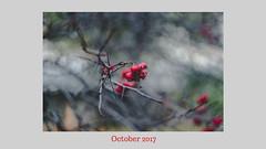 Red berries (bluishgreen12) Tags: autumn season fall branches berries red redberries leafless bokeh vintagelens vintageprime porstcolorreflex fuji fujifilm garden wild manualfocus sarajevo bih bosnia nature bokenphotography naturephotography closeup porst55mmf12