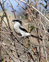 Loggerhead Shrike at Pinnacles NP (Patrick Dirlam) Tags: trips pinnaclesnationalpark birds birdsofprey loggerhead shrike