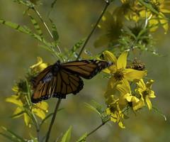 MonarchButterfly_SAF2066 (sara97) Tags: danausplexippus butterfly copyright©2017saraannefinke endangered insect missouri monarch monarchbutterfly photobysaraannefinke pollinator saintlouis