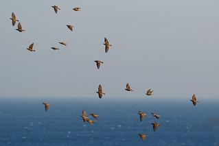 Storni sul mare - Starlings