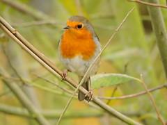 Robin (Deanne Wildsmith) Tags: earthnaturelife staffordshire robin bartonmarina