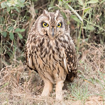 Short-eared Owl thumbnail