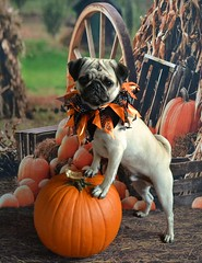 Boo Lefou Posing On A Pumpkin For You! (DaPuglet) Tags: pug pugs dog dogs pet pets animal animals pumpkin halloween costume pose coth5 sunrays5 saariysqualitypictures