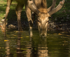 Getting a drink (SMPhotos2548) Tags: deer abinal water drinking reflection zoo bronx bronxzoo