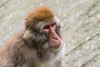 2017-10-26-Amersfoort-0134.jpg (BZD1) Tags: macacafuscata japansemakaak dierenparkamersfoort primates mammal cercopithecidae macaca japanesemacaque nature natuur animal