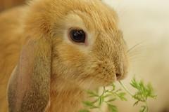 Rabbit Fest (Tjflex2) Tags: rabbit rabbits rabbitfest bunny bunnies vancouver vrra bc lapin lagomorpha lagomorph furry fuzzy cute