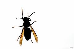 """""""À travers la vitre"""" ... (B.Guilbaud) Tags: microcosm hornet insecte animal closeup extérieur vitre nikonphotography automne nature"""