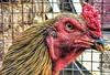 Golden. (Meraj.) Tags: asia bangalore mumbai indian appleiphone apple iphone6s india bird animal