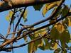 _1290066 social flycatcher (3) (archaeologist_d) Tags: honduras birdwatching haciendasanlucas socialflycatcher