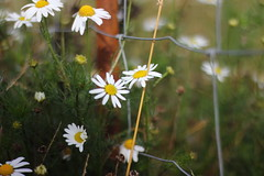Fence flowers (Nathalie_Désirée) Tags: daisies flower nature macro closeup autumn november badenwuerttemberg germany europe outdoors meadow field fence rust wire canoneos600d canon50mm f18 green leaves sweet lovely daylight bokeh flora