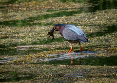 Fresh Catch (Portraying Life, LLC) Tags: da3004 hd14tc k1 michigan unitedstates bird closecrop handheld nativelighting pond dining frog prey heron