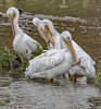 Cloudy and Cold_MG_0119-2 (918monty) Tags: pelicans americanwhitepelicans wildlife whitefeathers largebirds waterbirds fishingbirds migratingbirds dallastexas whiterocklake sunsetbay