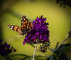 Every moment matters... (knoxnc) Tags: butterflybush bokeh closeup butterfly nature sunlight outisde d7200 nikon specanimal