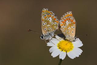 Aricia cramera mating (2)