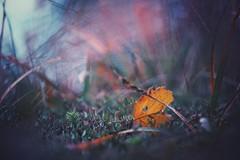 life is finite (christian mu) Tags: autumn münster muenster botanischergarten botanicalgarden christianmu sony sonya7ii 90mm 9028 macro leaf nature bokeh schlossgarten germany 9028g