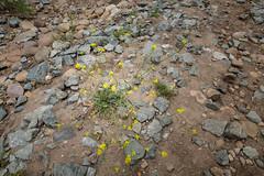 PEDB20160527-045.jpg (EricBier) Tags: navajocanyon hike color flower category photographyprocedure abbreviationforplace biological event plantae nvjcnyn place artwork yellow 20160527navajocanyon notripod photoouting sandiego 92119