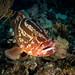 2017, cuba, jardines aggressor, los indios, nassau grouper portrait