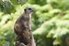 suricato (filippo.bassato) Tags: suricato mammifero preda