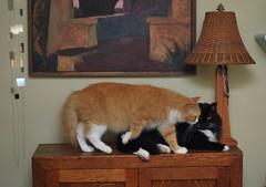 Coming through.... (rootcrop54) Tags: batman tuxedo male cat jimmy orange ginger tabby multiple pinksky whitepaws socks neko macska kedi 猫 kočka kissa γάτα köttur kucing gatto 고양이 kaķis katė katt katze katzen kot кошка mačka gatos maček kitteh chat ネコ cc100 cc500