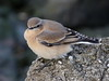 Northern Wheatear - KWT Oare Marshes 480 (mikehook51) Tags: october2017 avian autumn birds bird bbcautumnwatch beach canon common coast canoneos7dmk11 digital england fauna kent kentwildlifetrust kwt nature naturereserves ornithology oaremarshes reserve sea telephoto uk visitors wildlife winged water wheatear northernwheatear