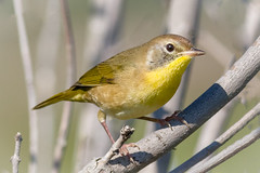 Common Yellowthroat (tresed47) Tags: 2017 201709sep 20170915bombayhookbirds birds bombayhook canon7d commonyellowthroat content delaware folder peterscamera petersphotos places season september summer takenby us warbler ngc npc