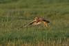 Velduil - Asio flammeus-3840 (Theo Locher) Tags: shortearedowl velduil sumpfohreule hiboudesmarais asioflammeus birds vogels vogel oiseaux belgium belgie copyrighttheolocher