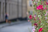 Hollyhocks (Infomastern) Tags: canonef100mmf28lisusmmacro lund blomma flower hollyhock stockros