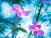 Japanese Anemone with blue bokeh (Tomo M) Tags: helios nature bokeh blur blue petal 秋明菊 autumn pink