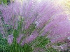 Lavender Grass in the Wind (npbiffar) Tags: grass field macro wind lavender outdoor nature npbiffar fz200 lumix purple