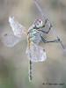 Damn dew! (Fernando Guirado) Tags: 2017 alfés lleida macro catalunya españa es closeup macrofotografia macrophoto macrophotography macrofoto sympetrumfonscolombii dragonfly libélula blur bokeh wow odonata odonato