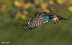 Wood Duck (salmoteb@rogers.com) Tags: bird wild outdoor wood duck inflight fall toronto canada