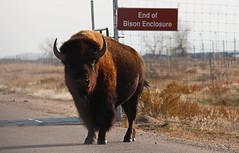 End of Bison Enclosure (Circled Thrice) Tags: bison buffalo mammal rockymountainarsenal nationalwildliferefuge wild wildlife nature natural refuge wildliferefuge outdoors outside aurora commercecity denver colorado co canon eos rebel t5i sigma