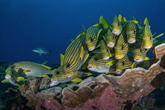 Who is that (merbert2012) Tags: westpapua indonesia papuaparadiseecoresort diving underwater underwaterphotography nature nationalpark wildlife scuba fish ocean nikond800 aquaticahousing travel fun animal
