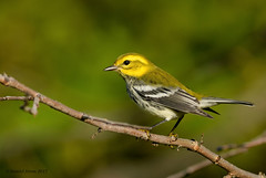 Black throated green Warbler (Explored 11/6/17) (Danielirons02) Tags: nikond610 nikon300mmf4 nikontc14 bird warbler songbird btnw nikon fullframe birding photography maryland maryland2017 queenannescountymd