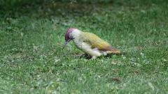 a woodpecker searching for food (Franck Zumella) Tags: bird oiseau woodpecker grass herbe pic vert green picvert ground nature animal