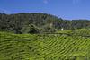 tea plantation 01 (Roger Foo) Tags: cameronhighlands hills teaplantation