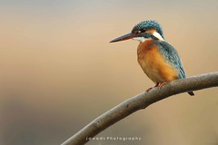 Common kingfisher ( Alcedo atthis ) (Jawad_Ahmad) Tags: wildlifephotography wildlife wildbird wildlifeofpakistan nature naturephotographer naturelover naturephotography beautyofnature beautiful perch colors bokeh feathers commonkingfisher jawadsphotography sialkot pakistan flicker