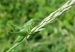 Great green bush-cricket nymph (m) (rockwolf) Tags: greatgreenbushcricket tettigoniaviridissima orthoptera insect cricket nymph sauterelle seaton cornwall 2017 rockwolf