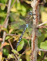 Dragonfly Butt! (RiverCrouchWalker) Tags: dragonfly migranthawker beautifulbugbuttthursday hbbbt bugbutt heybridgebasin maldon essex aeshnamixta perching october autumn 2017 insect invertebrate