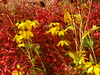 Red and Yellow (arrowlakelass) Tags: barberry fall colours garden rudbeckia red yellow p1150392