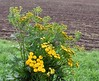 (:Linda:) Tags: germany thuringia village bürden tansy wildflowerbouquet